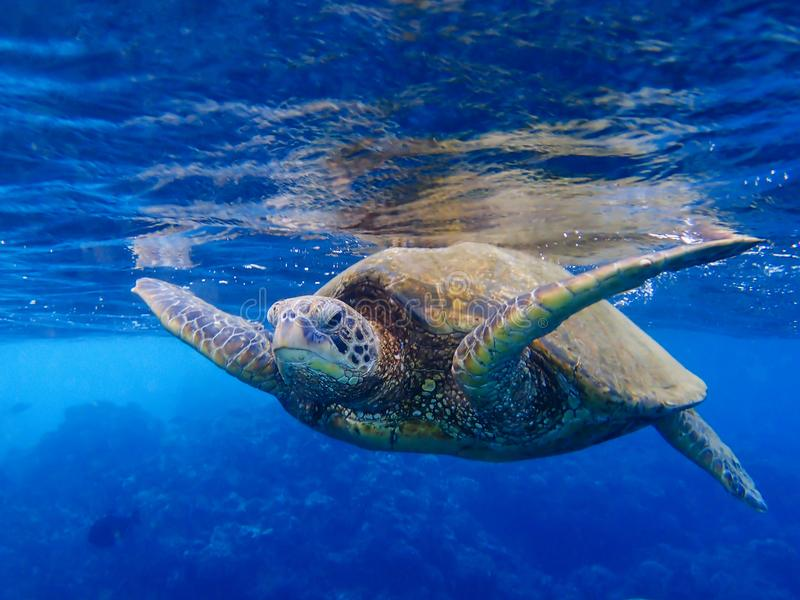 Sea Turtle Close Up Face First at Surface of Ocean. Close up of Green Sea Turtle swimming just below ocean surface coming towards camera royalty free stock photography