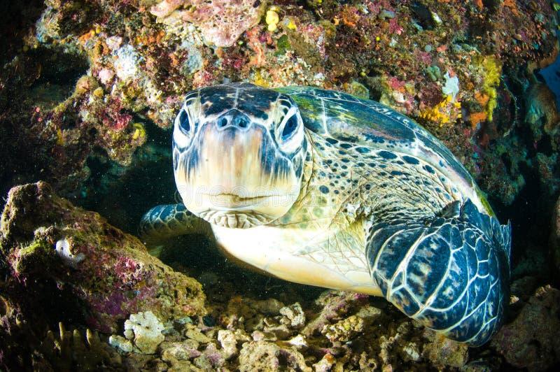 Sea turtle on coral bunaken sulawesi indonesia mydas chelonia underwater. Photo royalty free stock images