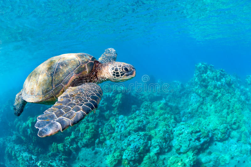 Sea turtle coral reef royalty free stock images