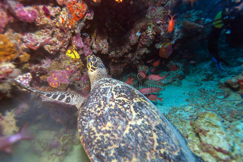 Sea Turtle and coral reef, Maldives stock images
