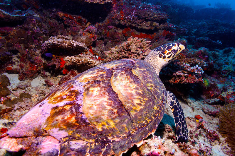 Download Sea Turtle On Coral Tropical Reef Stock Image - Image: 27610881