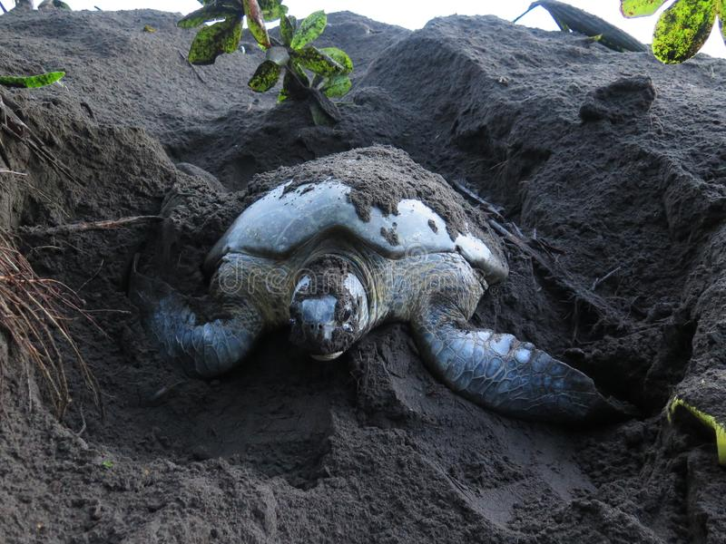 Sea turtle digging nest in the sand royalty free stock photography