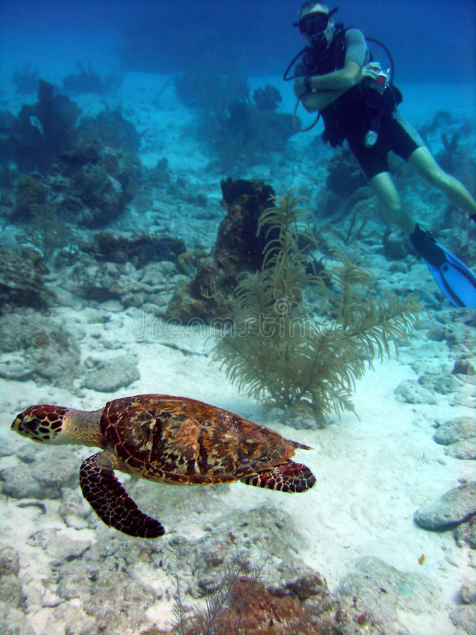 Sea turtle and diver stock photos