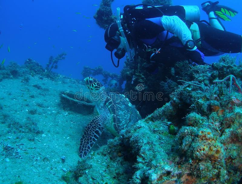 Sea Turtle with Diver royalty free stock image