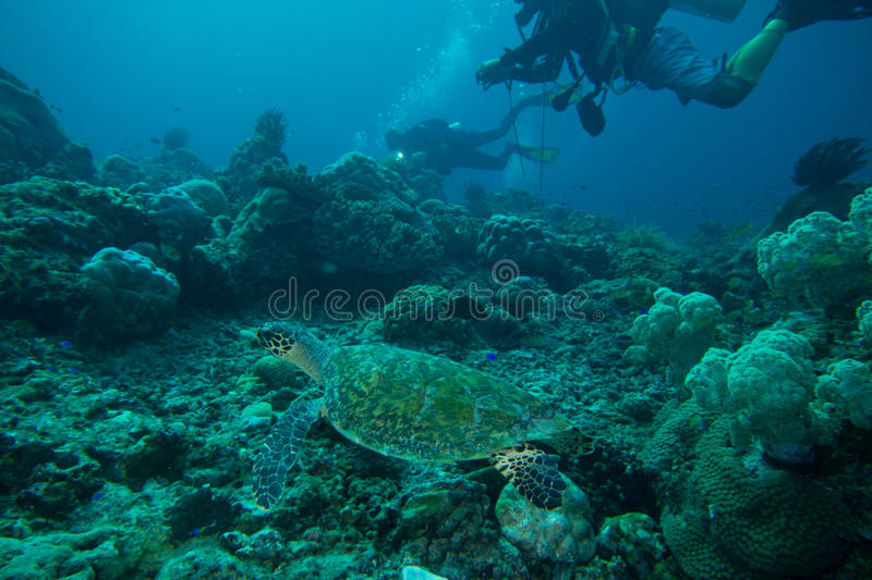 Sea turtle with divers royalty free stock photo