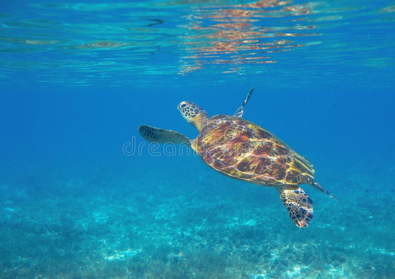Sea turtle dives up to breath. Tropical lagoon green turtle underwater photo. Wild marine animal in natural environment. Endangered species of coral reef stock photos