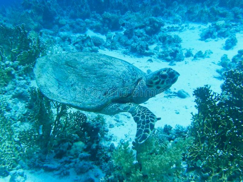 a sea turtle is diving stock images