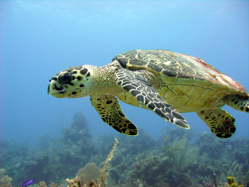 Sea turtle glides over a beautiful coral reef stock photos