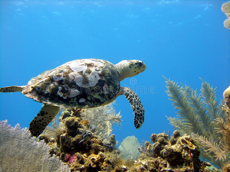 Sea turtle glides over a beautiful coral reef royalty free stock photos