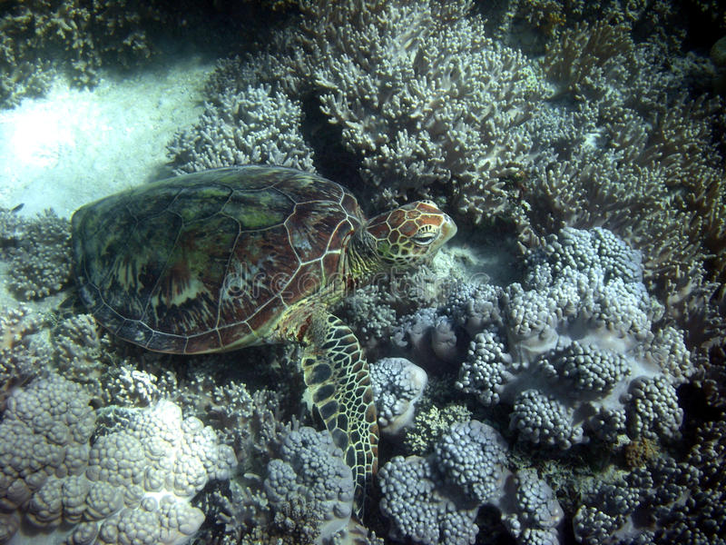 Sea Turtle in Great Barrier Reef royalty free stock photography