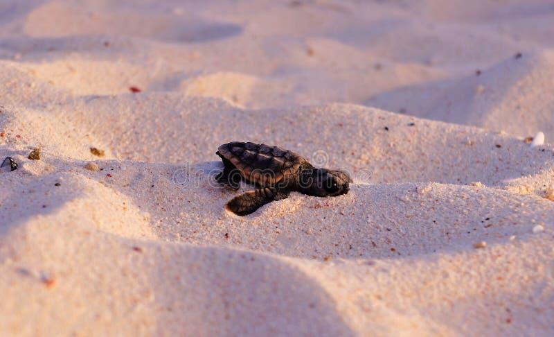 Sea Turtle Hatchling, Loggerhead, Faceplant baby stock image