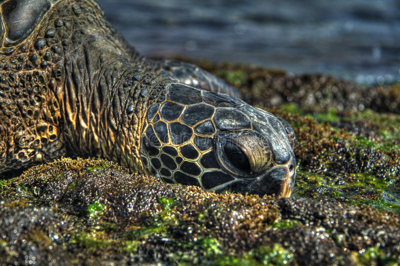 Download Sea Turtle In HDR Royalty Free Stock Image - Image: 10345946