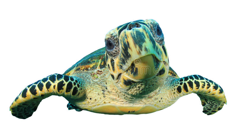 Sea turtle isolated stock image