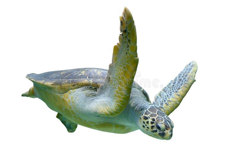 Sea turtle. Isolated on white background stock photo