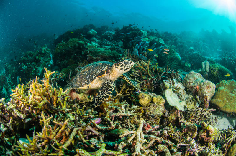Sea turtle kapoposang indonesia mydas chelonia underwater scuba diving diver stock photo