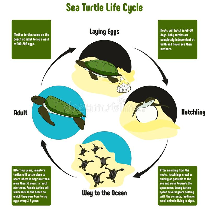 Sea Turtle Life Cycle Diagram. With all stages including laying eggs hatchling way to the ocean and adult simple useful chart for biology science education vector illustration
