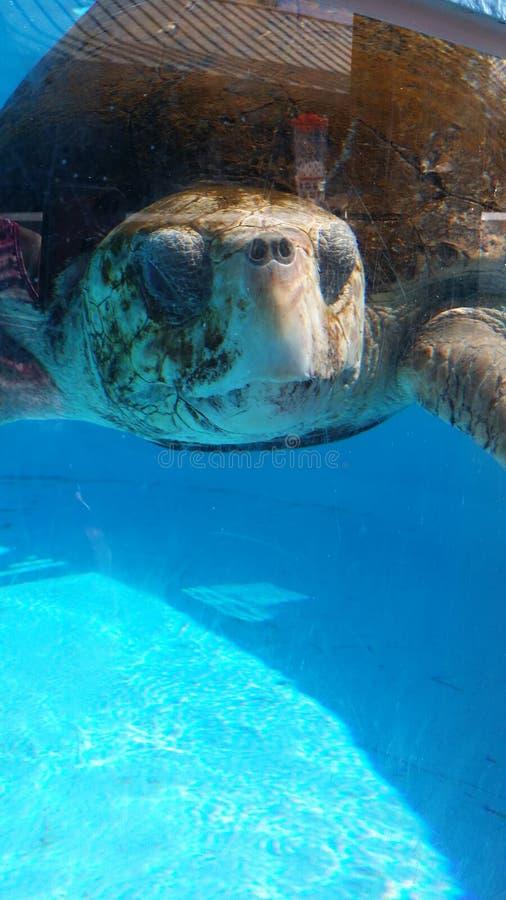 Sea turtle. Loggerhead sea turtle at Loggerhead Marinelife Center stock photography