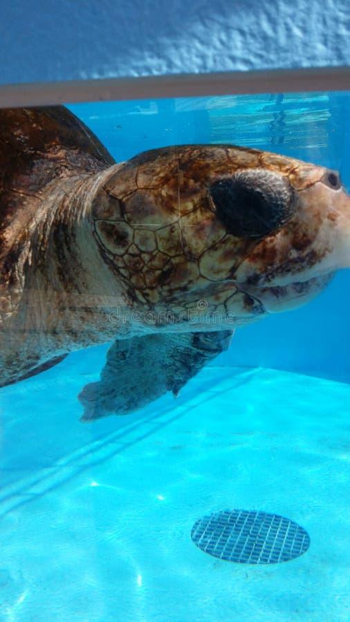 Sea turtle. A sea turtle at Loggerhead Marinelife Center royalty free stock image