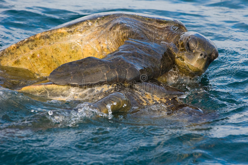 Sea turtle love royalty free stock images