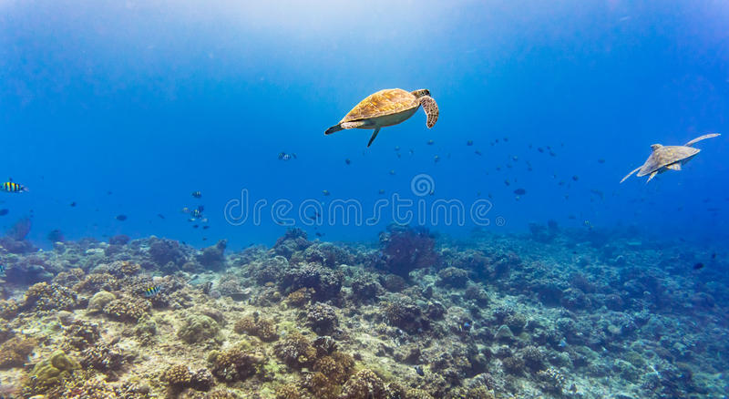 Sea turtle and many fish at tropical reef under water royalty free stock image