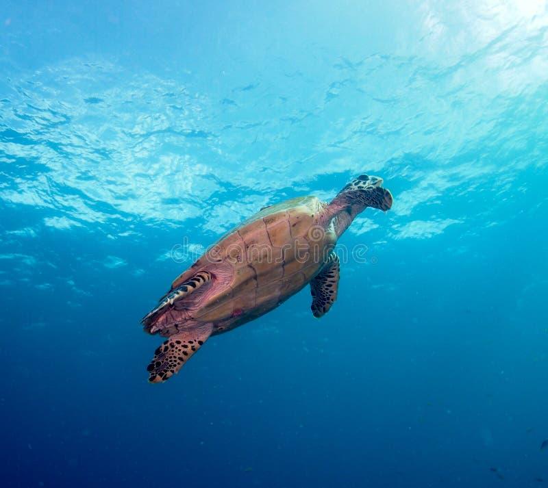 Sea Turtle. In open Ocean - Indian Ocean stock photos