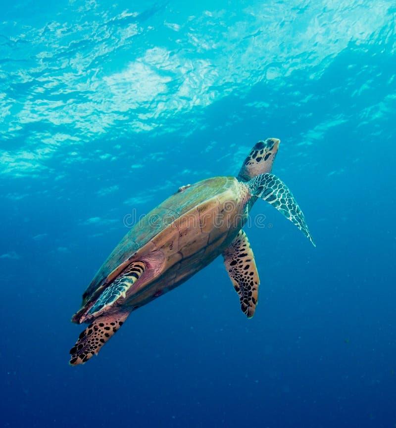 Sea Turtle. In open Ocean - Indian Ocean royalty free stock image