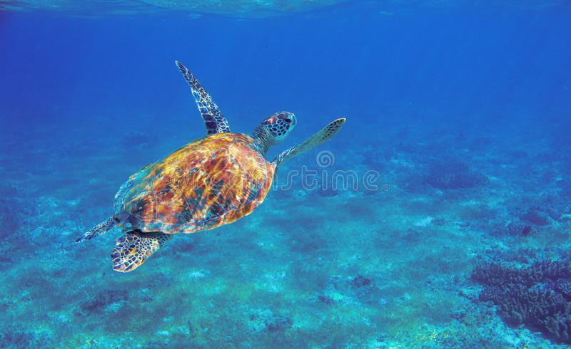Sea turtle with orange shell underwater photo. Marine green sea turtle. Wildlife of tropical coral reef. Sea tortoise. Dives up to breath. Tropical water animal royalty free stock photo