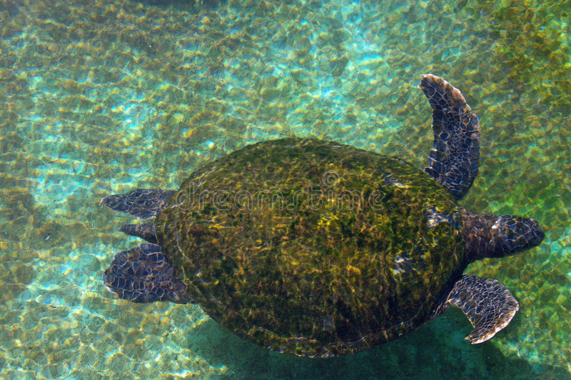 Download Sea Turtle In The Red Sea Royalty Free Stock Image - Image: 3890026