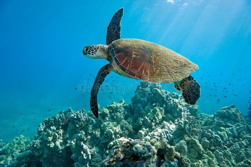 Sea turtle reef. Green sea turtle and tropical coral reef in hawaii