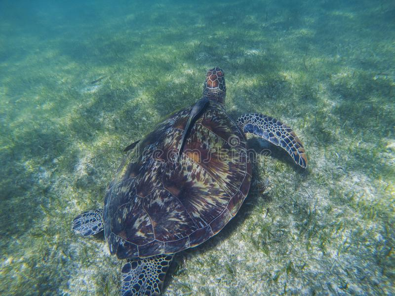 Sea turtle and remora sucker fish photo. Marine green sea turtle closeup. Wildlife of tropical coral reef. Sea tortoise in water. Tropical sea fauna. Animal royalty free stock photo