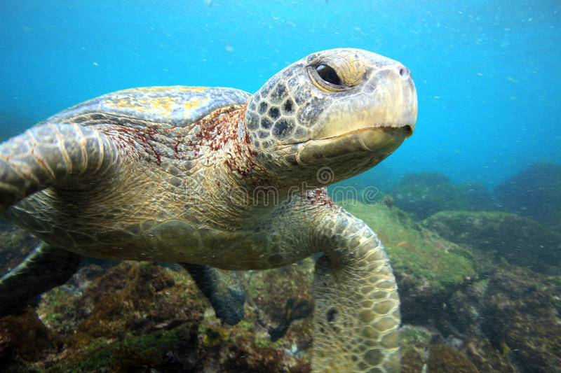 Sea turtle resting underwater stock photography
