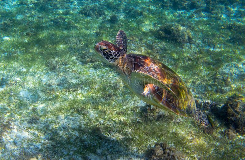 Sea turtle in seaweed of tropical lagoon. Green turtle swim underwater photo. Wild marine animal in natural environment. Endangered species of coral reef royalty free stock image