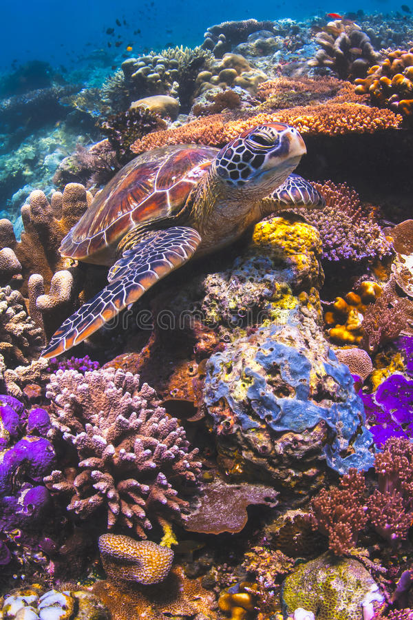 Sea Turtle sitting on a colorful coral reef in Sipadan, Malaysia royalty free stock image