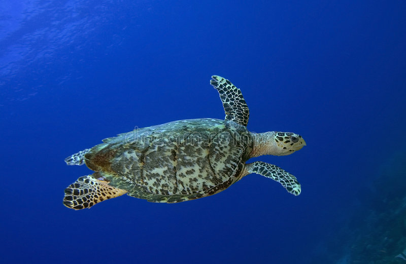 Sea Turtle, St. Lucia stock images