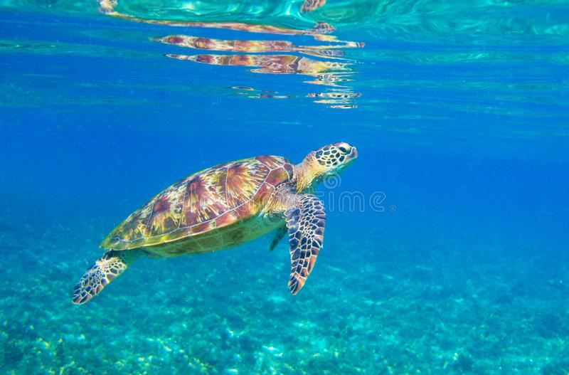 Sea turtle in sunlight. Tropical lagoon Green turtle underwater photo. Wild marine animal in natural environment royalty free stock photo