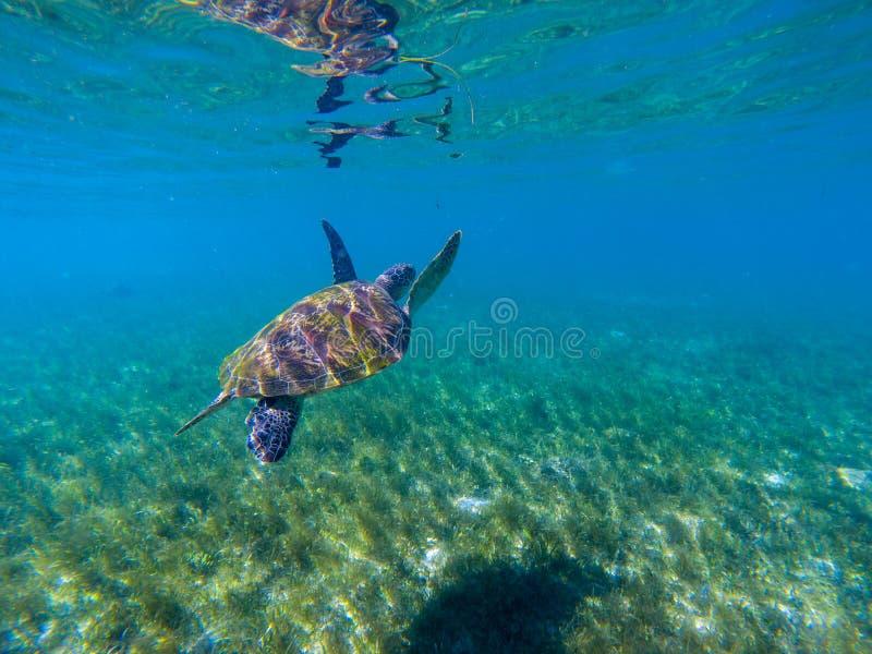 Sea turtle swim in water of tropical lagoon. Green turtle underwater photo. Wild marine animal in natural environment stock photos