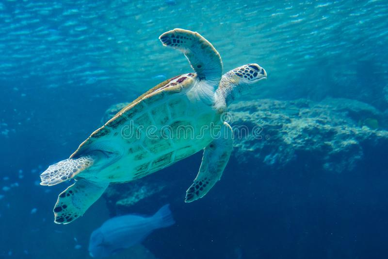 Sea turtle swiming in Aquarium royalty free stock photos