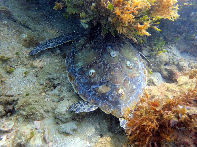 Sea Turtle swimming and feeding off of the growth around the rock and coral reef royalty free stock photography
