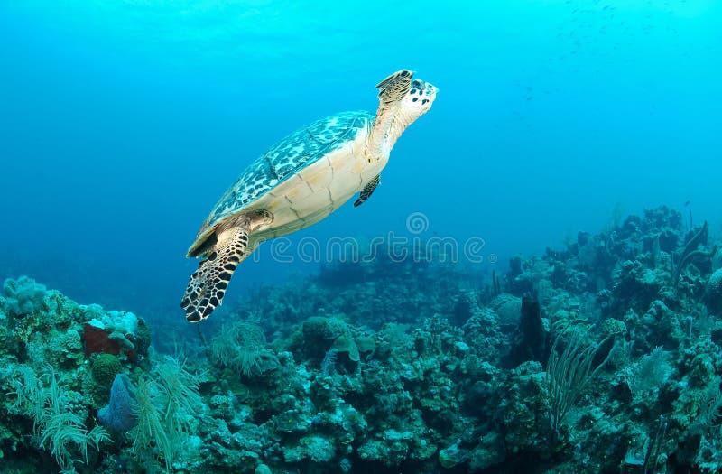 Download Sea Turtle Swimming Underwater Stock Photo - Image: 23750696