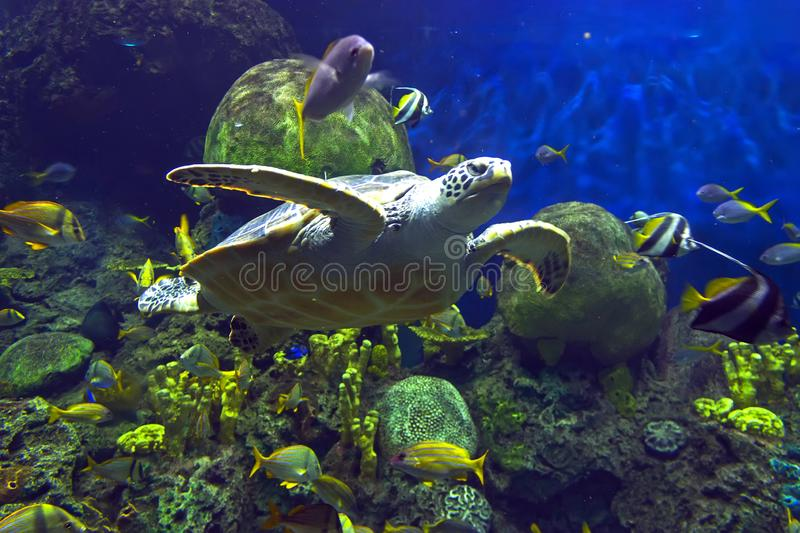 Sea turtle swimming underwater stock images