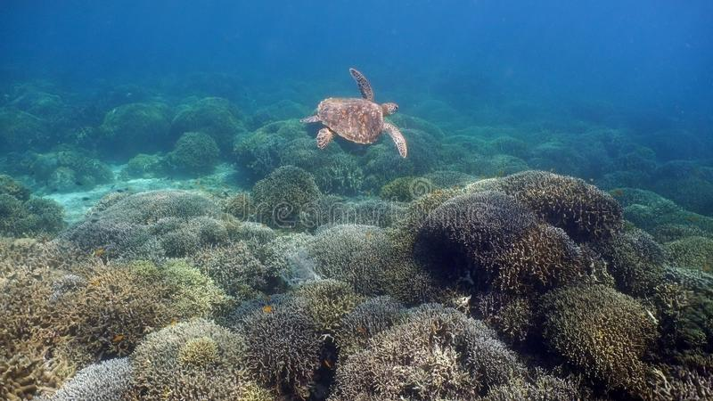 Sea turtle under water. royalty free stock photo
