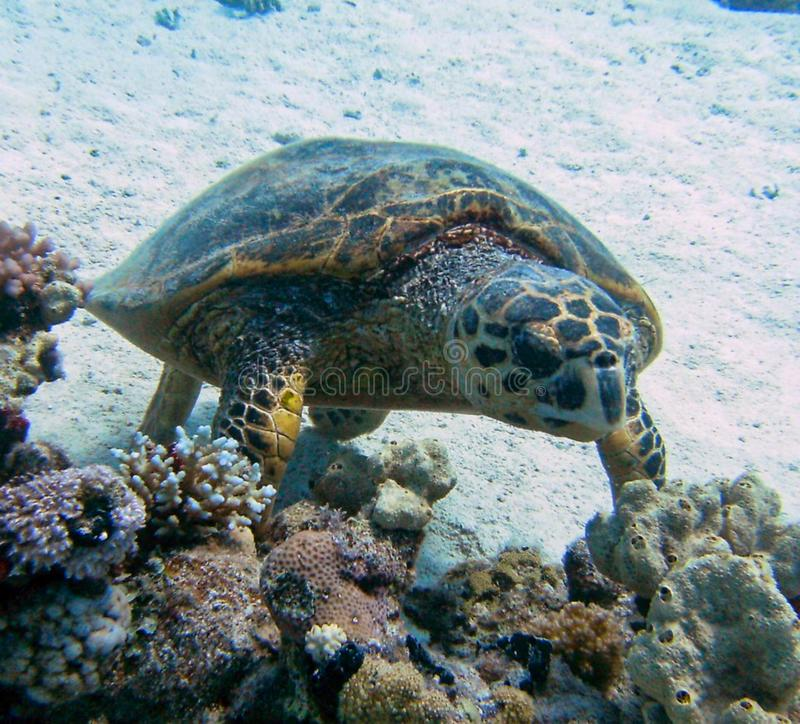 a sea turtle swimming underwater royalty free stock photos
