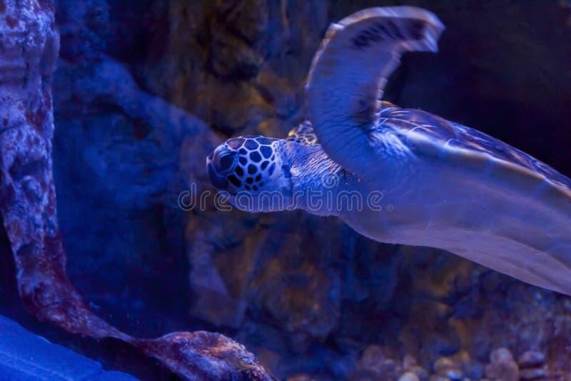 Sea turtle swims forward royalty free stock image