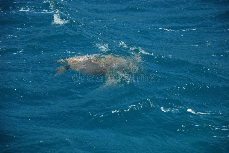 Sea turtle swims in the Mediterranean Sea near the Turkish city of Kemer royalty free stock photography