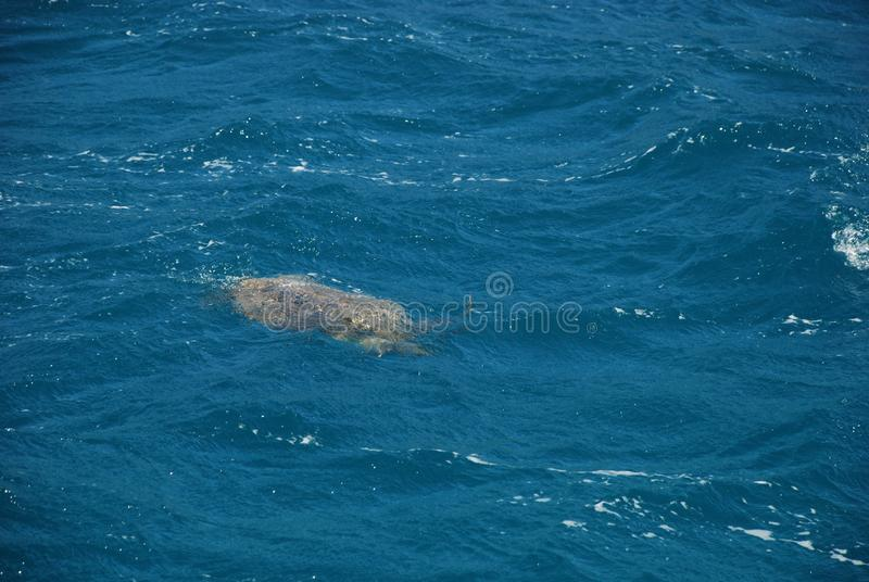 Sea turtle swims in the Mediterranean Sea near the Turkish city of Kemer royalty free stock photo