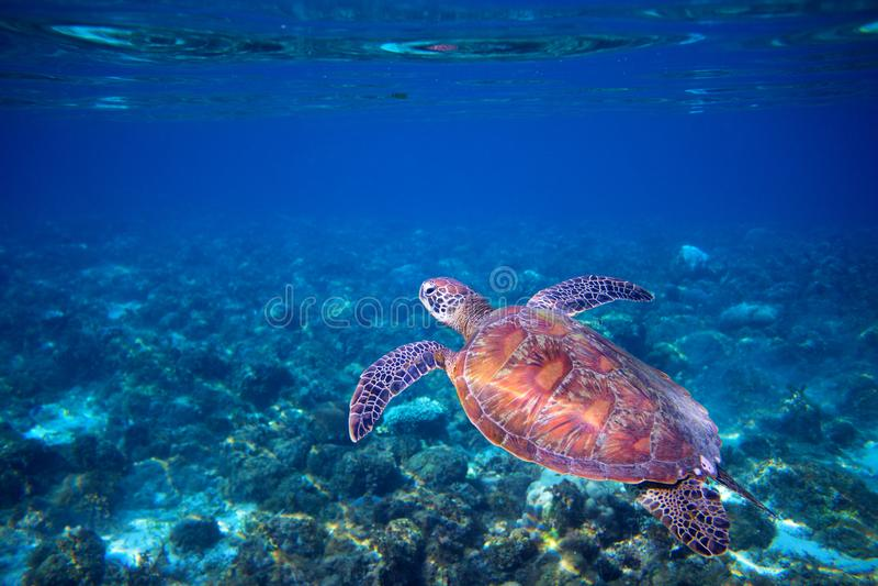 Sea turtle swims in sea water. Green sea turtle closeup. Wildlife of tropical coral reef. royalty free stock image