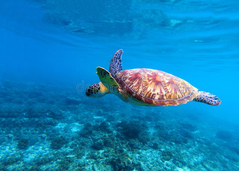 Sea turtle swims in sea water. Olive green sea turtle closeup. Life of tropical coral reef. royalty free stock photos