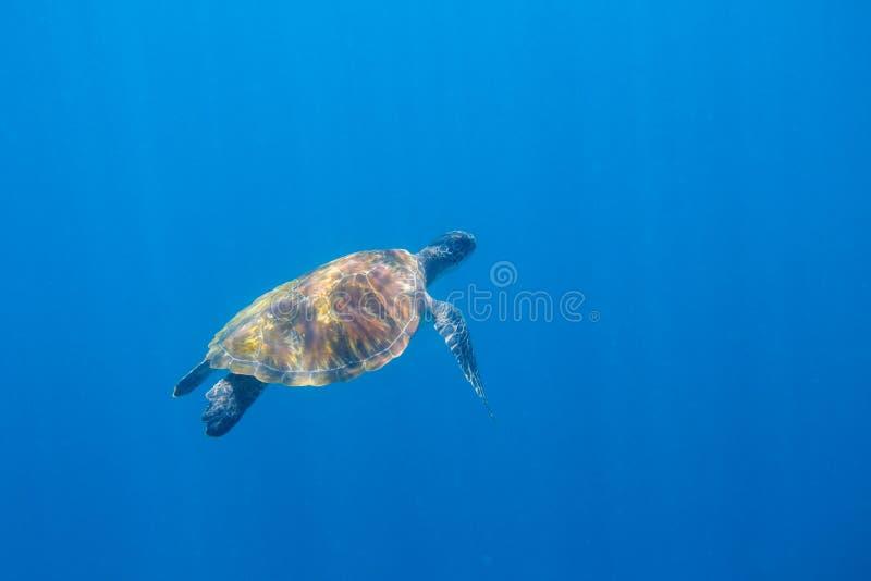 Sea turtle swims in sunlight undersea photo. Sea turtle underwater. Oceanic animal in wild nature royalty free stock images