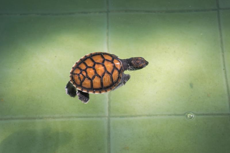 The sea turtle swims in the treatment pool for conservation at Sea Turtle royalty free stock photo
