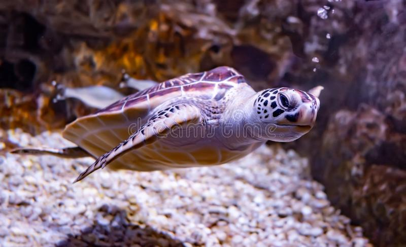 Sea turtle swims under water royalty free stock photos